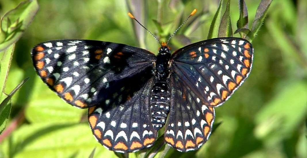 A Baltimore checkerspot butterfly on a white turtlehead plant.  Photo courtesy of Matt Perry