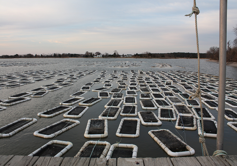 Oysters grow in a floating 4-acre aquaculture field run by Choptank Oyster Company near Cambridge in Dorchester County. (Photo by J.F. Meils/Capital News Service.)