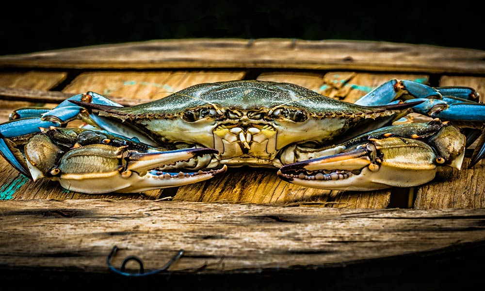 According to the 2017 Winter Dredge Survey, there are about 455 million crabs living in the Chesapeake Bay. (Photo by Joe Subolefsky / courtesy Maryland Department of Natural Resources)
