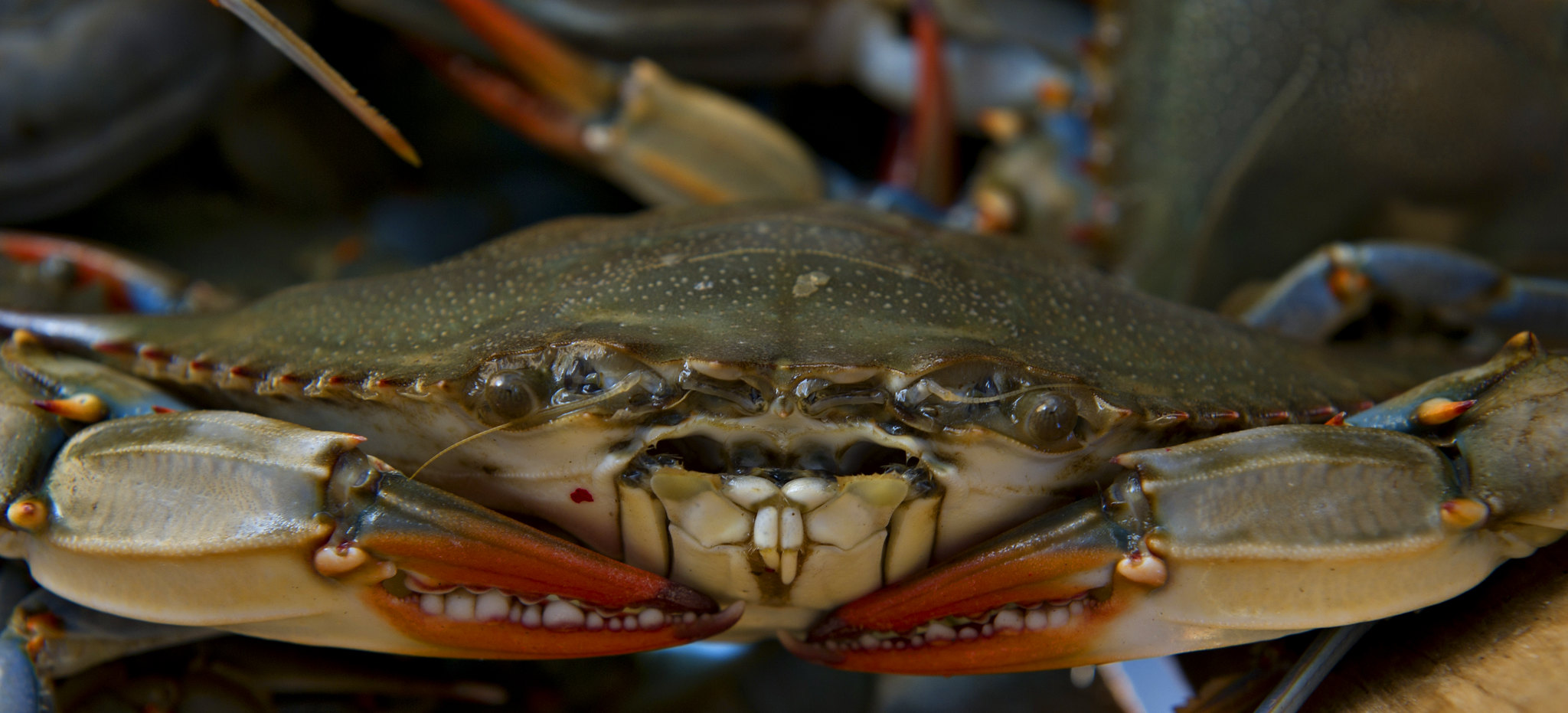 Close up of Maryland blue crab