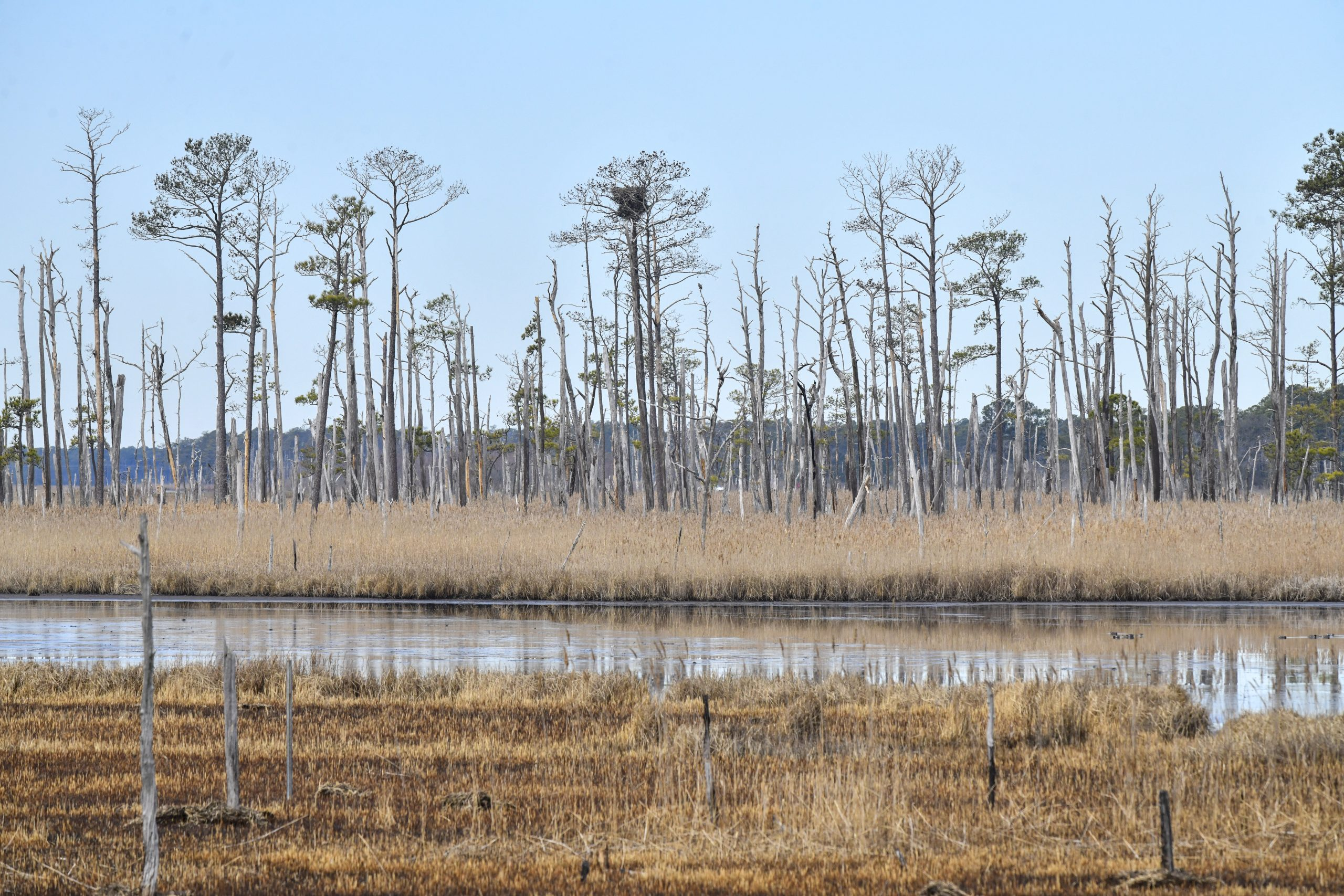 Invading saltwater kills trees from the roots up. The last to succumb at the Blackwater National Wildlife Refuge are the loblolly pines. Photo credit: Sarah Sopher/University of Maryland