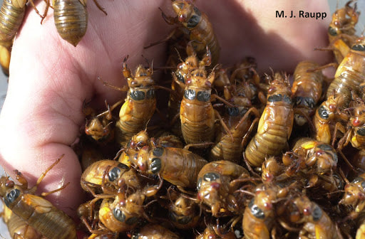 Michael Raupp is holding a group of newly emerged cicadas known as nymphs.